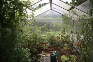 plant de tomate dans une serre
