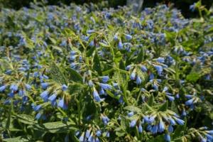 fleurs de consoude